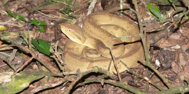 Víbora-Isla-de-las-cobras