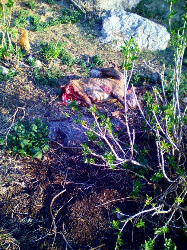 El gobierno de Rodríguez Saá había negado pérdida de animales y daños materiales por los incendios.