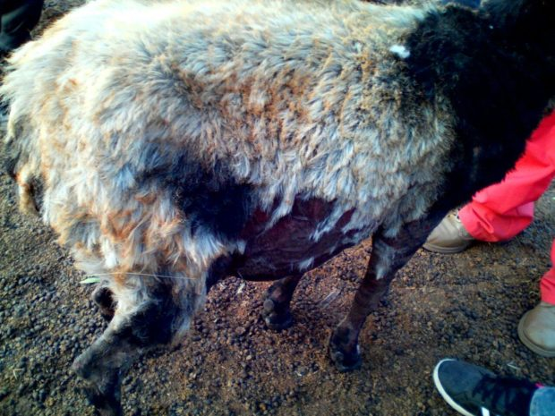 Los veterinarios brindaron asistencia a los animales que perdieron el pelaje.